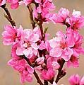 Cherry Blossom by Nicole Fleckenstein