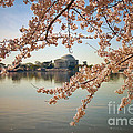 Cherry Blossoms And Jefferson Memorial by Susan Isakson