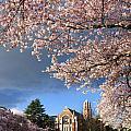 Cherry Blossoms At University Of Washington by Greg Vaughn