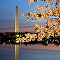 Cherry Blossoms by Brian Jannsen