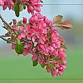 Cherry Blossoms by Debbie Portwood