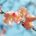 Cherry Blossoms IIi by Louise Fahy
