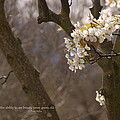 Cherry Blossoms by Mick Anderson