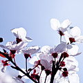 Cherry Blossoms by Photo by Kevin Frates