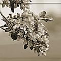 Cherry Blossoms Sepia by Debbie Portwood