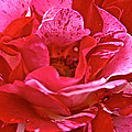 Cherry Chip Rose Petals by Susan Herber