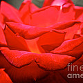 Cherry Red Rose by Susan Herber