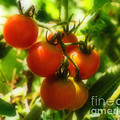 Cherry Tomatoes On The Vine by Smilin Eyes  Treasures