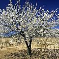Cherry Tree by Bernard Jaubert