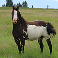 Chestnut Overo Paint Stallion by Karon Melillo DeVega
