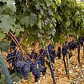 Chianti Grapes by Christopher Brown