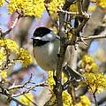 Chickadee Among The Blossoms by Doris Potter