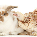 Chicken And Rabbit by Mark Taylor