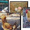 Chickens by Michael MacGregor
