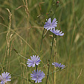 Chicory 2765 by Michael Peychich