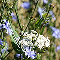 Chicory And Lace by Peggy King