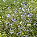 Chicory Flowers (cichorium Intybus) by Bob Gibbons