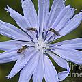 Chicory For Three by Darleen Stry