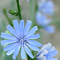 Chicory by Frank Townsley