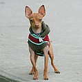 Chihuahua In A Sweater by Ritmo Boxer Designs