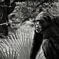 Chimp by Tim Thoms