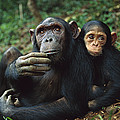 Chimpanzee Adult Female With Orphan Baby by Cyril Ruoso