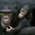 Chimpanzee Female Holding Infant by Cyril Ruoso