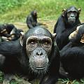 Chimpanzee Pan Troglodytes Female by Cyril Ruoso