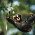 Chimpanzee Pan Troglodytes Resting by Cyril Ruoso
