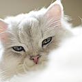 Chinchilla Cat by Lawren