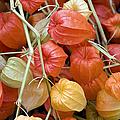 Chinese Lantern Flowers by Jane Rix