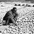 Chinese Man Drying Fish On The Shore - C 1902 by International  Images