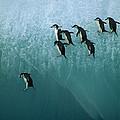 Chinstrap Penguin Pygoscelis Antarctica by Jean-Paul Ferrero