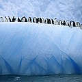 Chinstrap Penguins Lined by Ralph Lee Hopkins