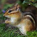 Chipmunk by Bruce J Robinson