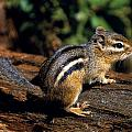 Chipmunk On A Log by Natural Selection Bill Byrne