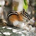 Chipmunk by Terry Dadswell