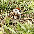 Chipping Sparrow by Yumi Johnson