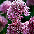 Chive Blossom by Susan Herber