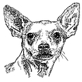 Chiwawa-portrait-drawing by Gordon Punt