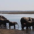 Chobe Elephants by Kristen Macks