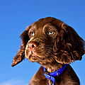 Chocolate Brown Cocker Spaniel Puppy by Andrew Davies