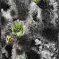 Cholla Blossoms by Linda Dunn