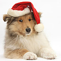 Christmas Collie Pup by Mark Taylor