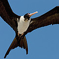 Christmas Island Frigatebird Fregata by Ingo Arndt