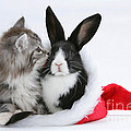 Christmas Kitten And Rabbit by Mark Taylor