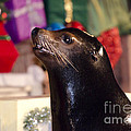 Christmas Sea Lion by Jim And Emily Bush