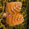 Christmas Tree Worm Spirobranchus by Pete Oxford