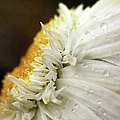Chrysanthemum Daisy With Raindrops by Nichola Sarah