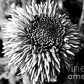Chrysanthemum In Monochrome by Pravine Chester